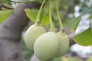 银杏果中毒有什么症状,银杏果中毒症状缩略图
