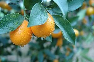 感冒咳嗽能吃金桔吗 金桔怎么吃治咳嗽缩略图